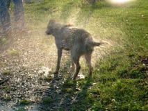 собака влажная Стоковая Фотография