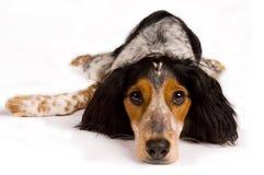 собака вниз кладя смотрящ вас Стоковые Фотографии RF