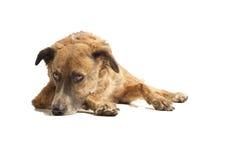 собака вниз кладя Стоковые Фотографии RF