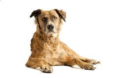 собака вниз кладя Стоковые Фото