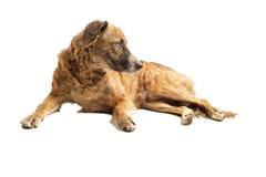 собака вниз кладя Стоковое Фото