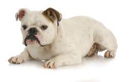 собака вниз кладя Стоковое фото RF