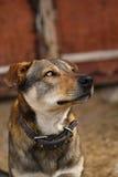 Собака двора посвященно смотрит хозяина стоковые фото