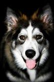 Собака волка Стоковая Фотография