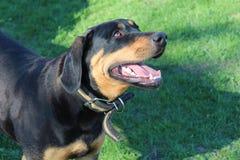 Собака встречает предпринимателя Радостная встреча Прогулка весны в свежем воздухе Стоковое фото RF