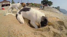 Собака выкапывая в песке на пляже в лете сток-видео