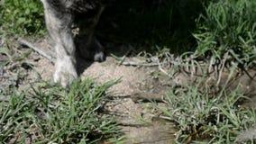 Собака выпивает воду от реки видеоматериал