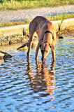 Собака выпивая в озере Стоковые Фото