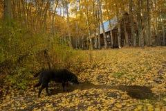 Собака выпивая от потока, кабины в предпосылке стоковые изображения