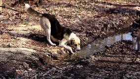 Собака выпивая от лужицы в лесе акции видеоматериалы
