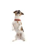 собака выполняя выходку Стоковая Фотография RF