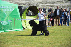 Собака выставки собак большая черная Стоковое Изображение RF