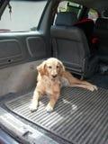Собака в автомобиле Стоковое Фото