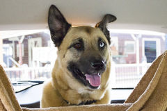 Собака в автомобиле Стоковое фото RF