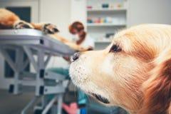 Собака в больнице для животных Стоковое Изображение