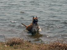 Собака в воде стоковые фотографии rf