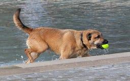Собака в воде Стоковые Изображения RF