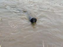 Собака в воде стоковая фотография rf