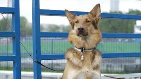 Собака в деревне сидит связанный к цепи Связанная собака сидит на загородке Собака ждать его мастера Стоковая Фотография RF
