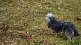 Собака в лесе осени стоковое фото rf