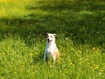 Собака в лужке, (66) Стоковое Изображение