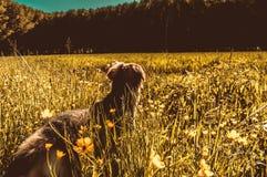 Собака в золотом луге Стоковые Фотографии RF