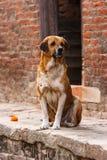 Собака в квадрате Patan Durbar, Непале Стоковые Фото