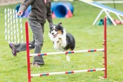Собака в конкуренции подвижности Стоковое Изображение RF