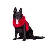 Собака в красном шарфе стоковые фото