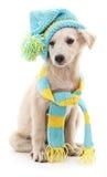Собака в крышке и шарфе стоковое фото rf