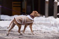 Собака в куртке и ботинках Стоковые Фотографии RF
