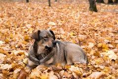 Собака в кленовых листах Стоковые Изображения