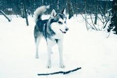 Собака в лесе зимы играя с ручкой Стоковые Изображения