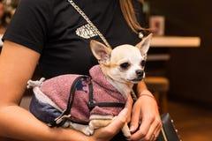 Собака в модных одеждах на руках девушки Стоковые Фото