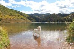 Собака в озере Стоковая Фотография