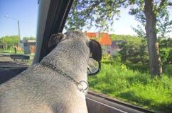 Собака в окне автомобиля стоковая фотография rf