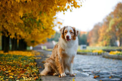 Собака в парке осени Стоковое Фото