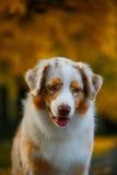 Собака в парке осени Стоковые Фотографии RF