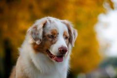 Собака в парке осени Стоковое Изображение