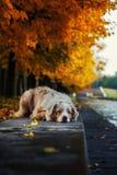 Собака в парке осени Стоковые Фото