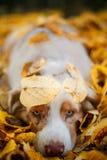 Собака в парке осени Стоковые Изображения