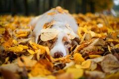 Собака в парке осени Стоковое фото RF