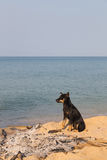 Собака в потухшем костре на пляже стоковое изображение rf