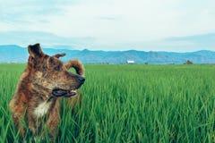 Собака в поле Стоковая Фотография