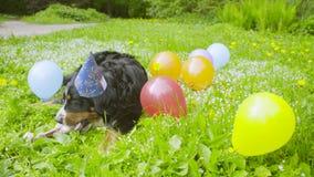 Собака в праздничной крышке есть косточку акции видеоматериалы