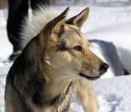 Собака в пуще зимы Стоковые Изображения RF
