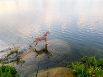 Собака в реке Стоковая Фотография
