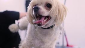 Собака в салоне холить любимца получая отрезок волос с триммером видеоматериал