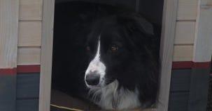 Собака в своем доме собаки, мужчина Коллиы границы, Пикардия во Франции, реальном времени сток-видео