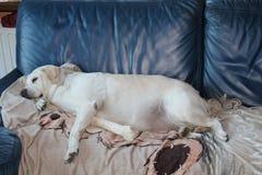 Собака в софе Стоковая Фотография